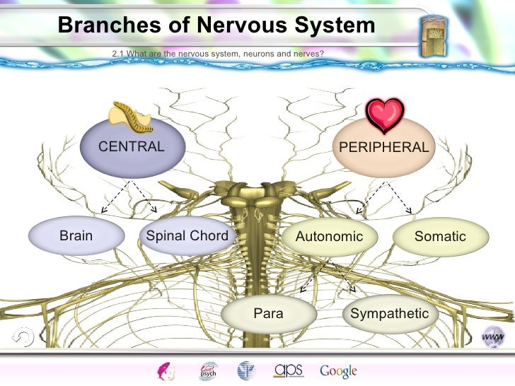 chapter 5 the nervous system pdf